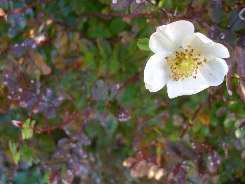 Blume III