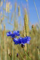 Blume im Korn