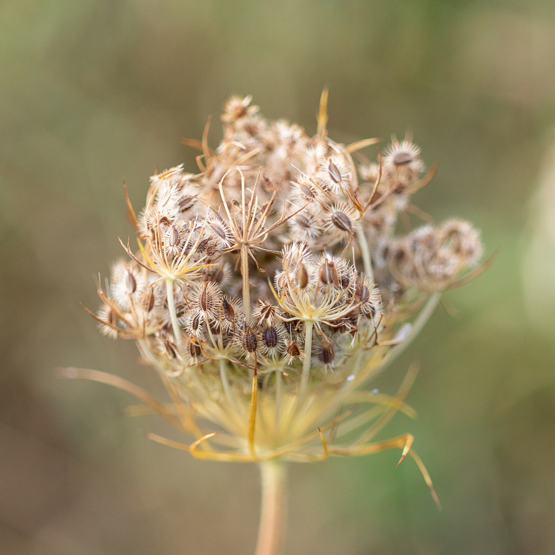 Blume Makro-3355