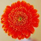 Blume mit 50mm