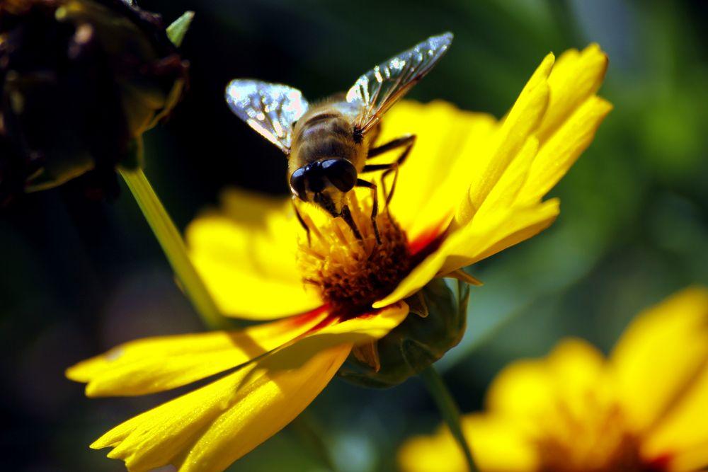 blume mit biene foto  bild  tiere natur bilder auf