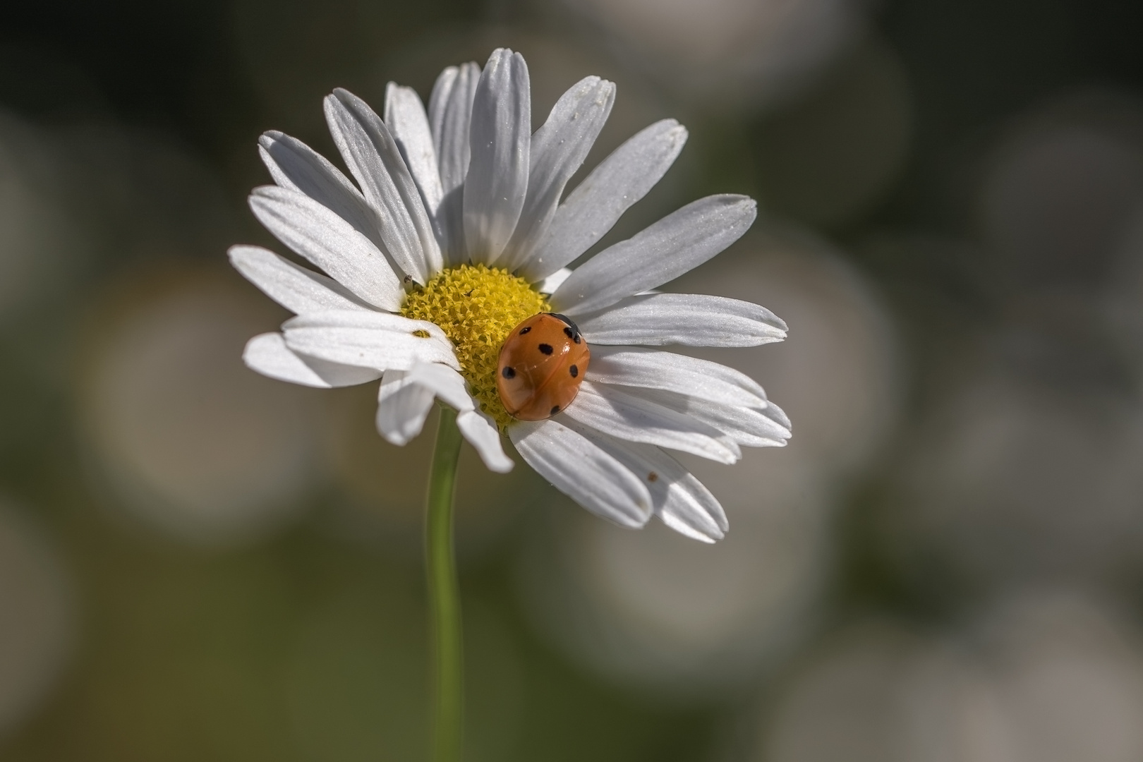 Blume Mit Marienkäfer Foto Bild Makro Natur Blume Bilder Auf