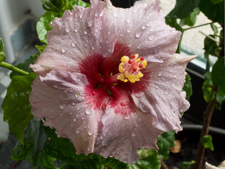 Blume mit Regentropfen...