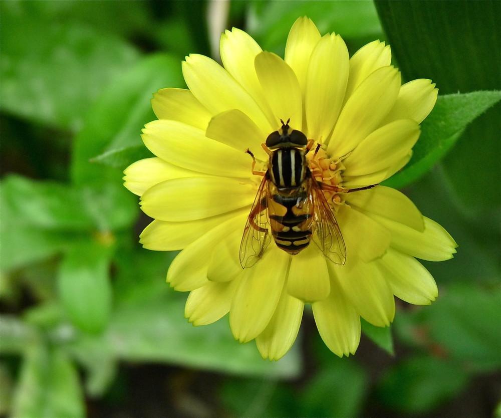 Blume mit Schwebefliege