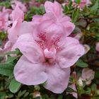 Blume-Rosa