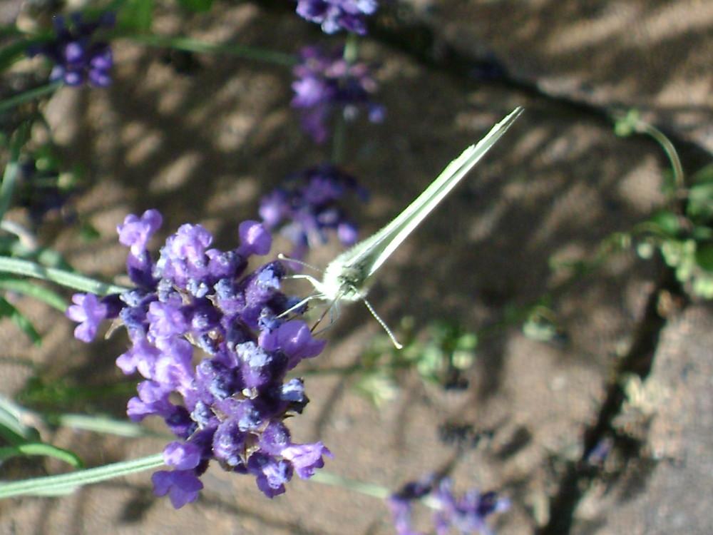 Blume und Falter