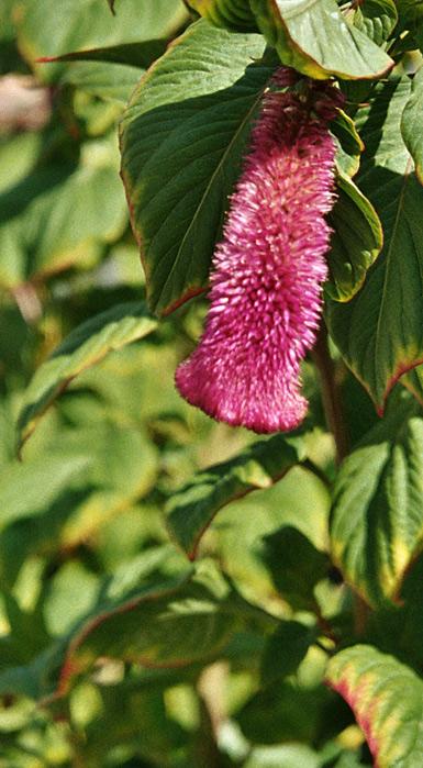 Blume von Kreta