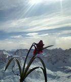 Blume vor Bergen