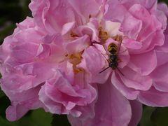 Blume & Wespe 4