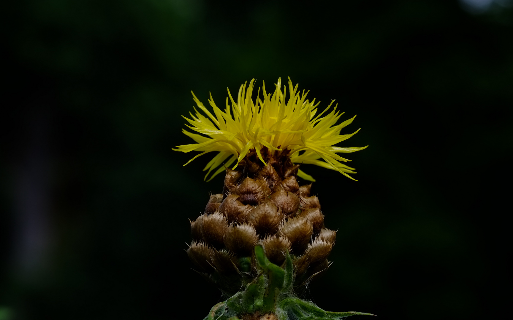 Blume12