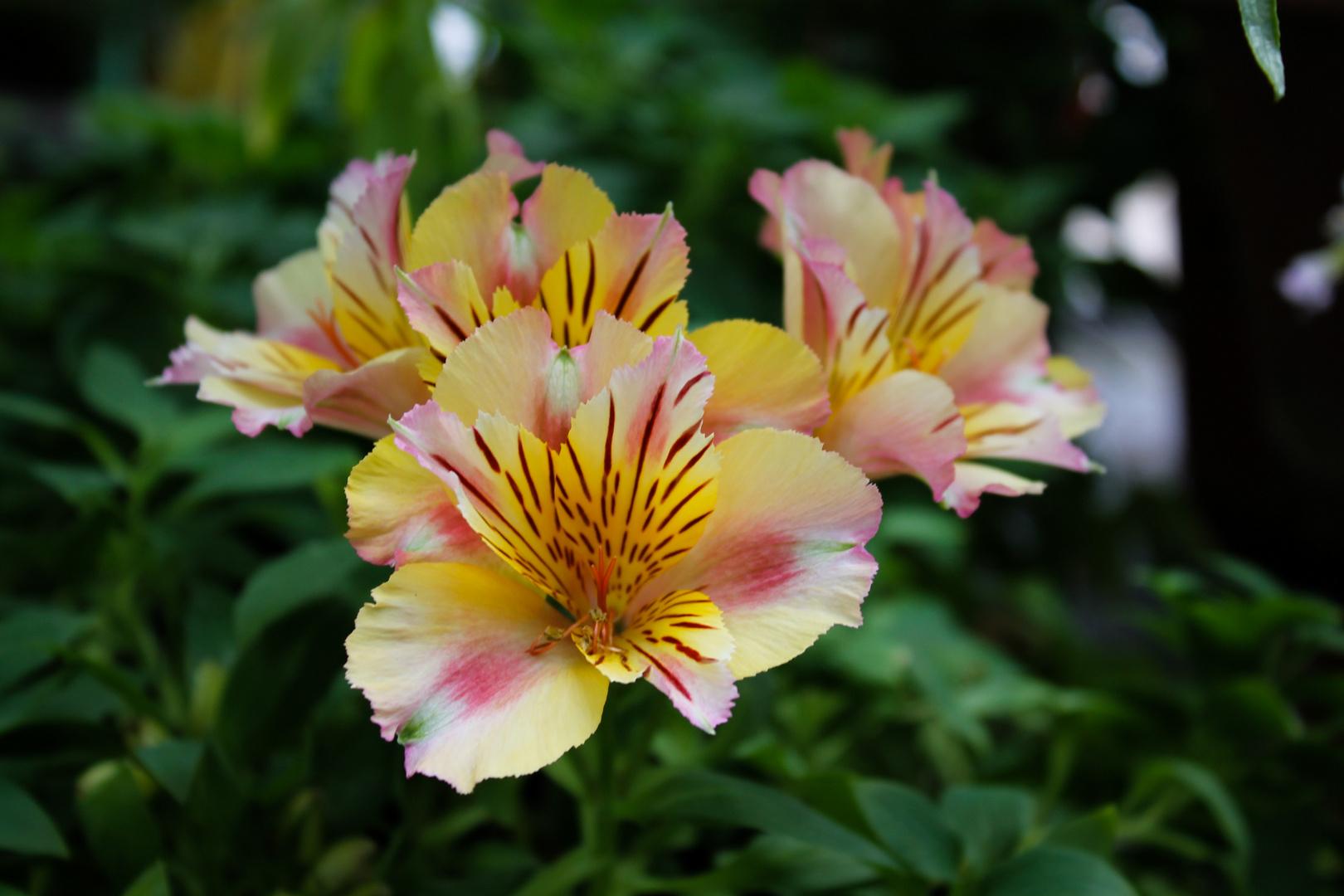Blumel