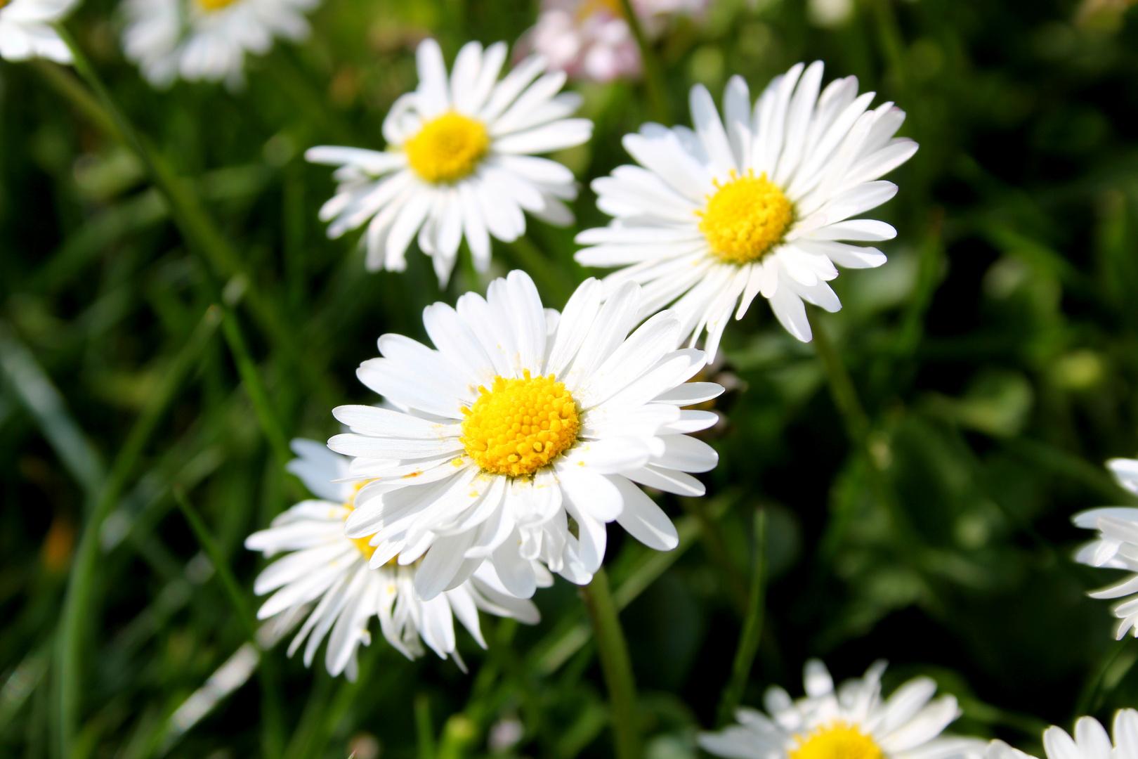 Blumen der Gänse