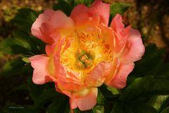 Blumen-Duftpfingstrose