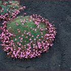 Blumen erobern den Ätna