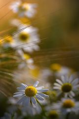 Blumen im Cornfeld
