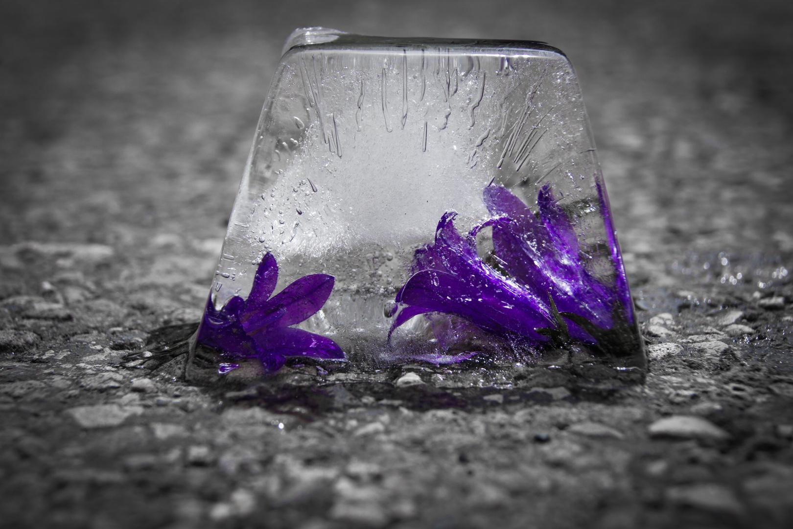 Blumen im Eisblock