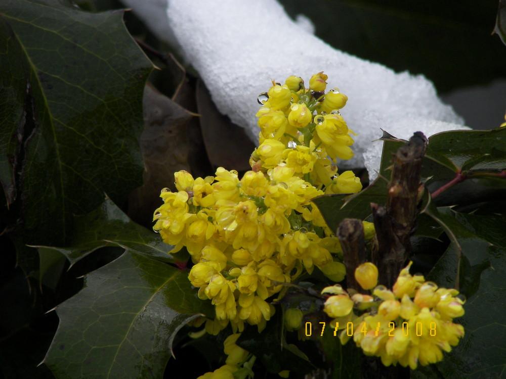 Blumen im letzten Schnee im April