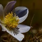 Blumen in den Dolomiten (8)