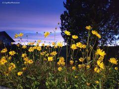 Blumen in der Nacht bei Seewald-Besenfeld