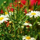 Blumen in Konstantz