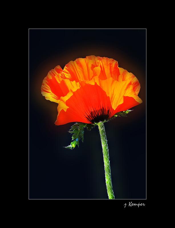 Blumen + Pflanzen - Hingehauchter roter Mohn -