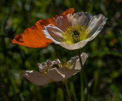Blumen von Labrador     II       DSC_2415