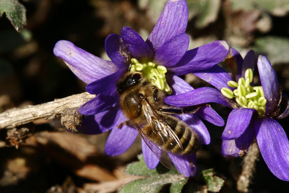 Blumenbiene
