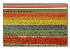 Blumenfelder in Südholland