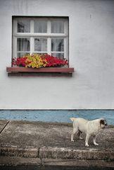 Blumenfenster mit Mops mit Blumenfenster
