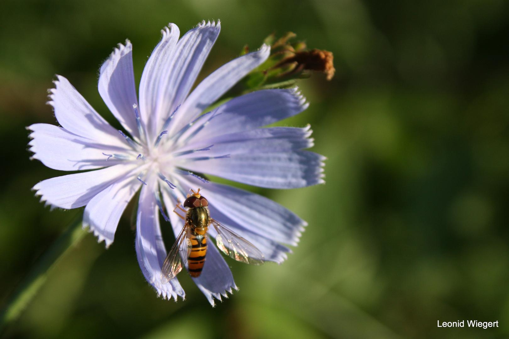 Blumenfliege