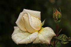 Blumengruß am Freitag.....