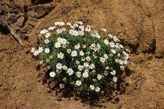 Blumengruß nach Deutschland - die Margaritte ist hier endemisch