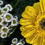 Blumengruß zum Abschied in eine vorübergehende fc- Pause!