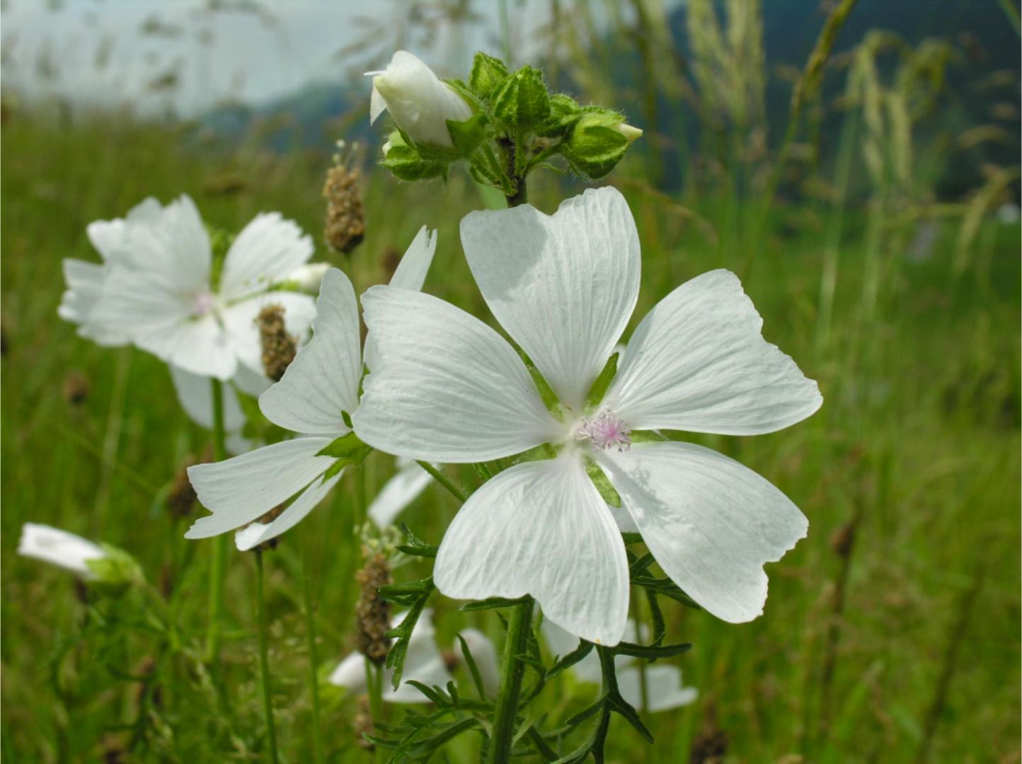 Blumenidylle im Säntisgebiet