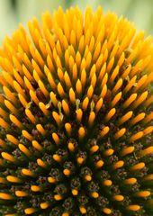 Blumenigel