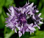 Blumenkätzchen