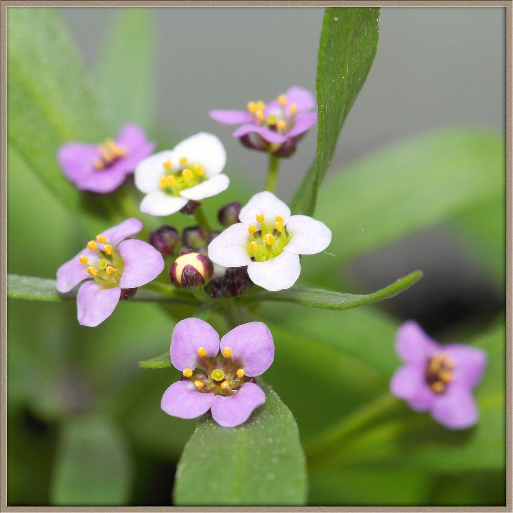 Blumenkastenblümchen