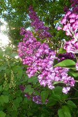 Blumen,Lila Flieder