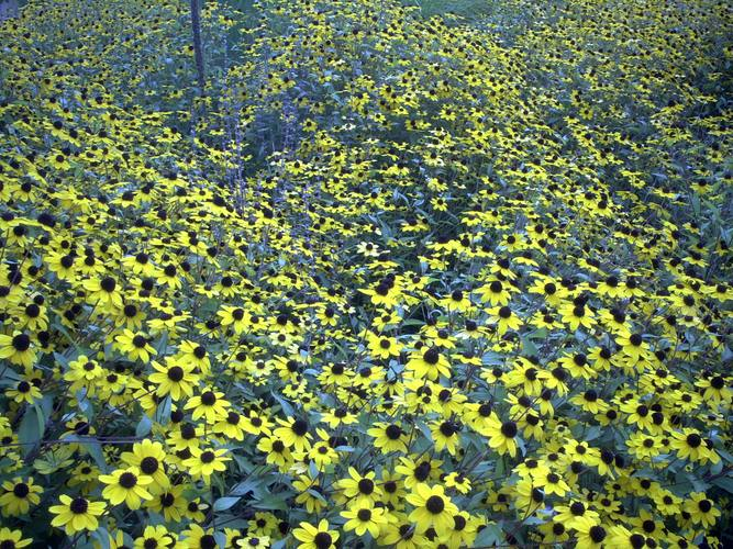 Blumenmeer in gelb
