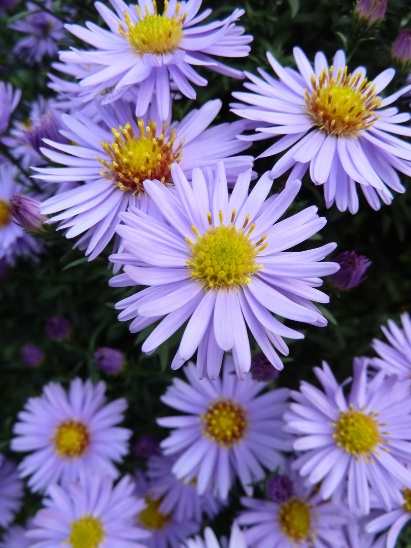 Blumenpracht in violett