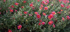 Blumenteppich am Steingarten