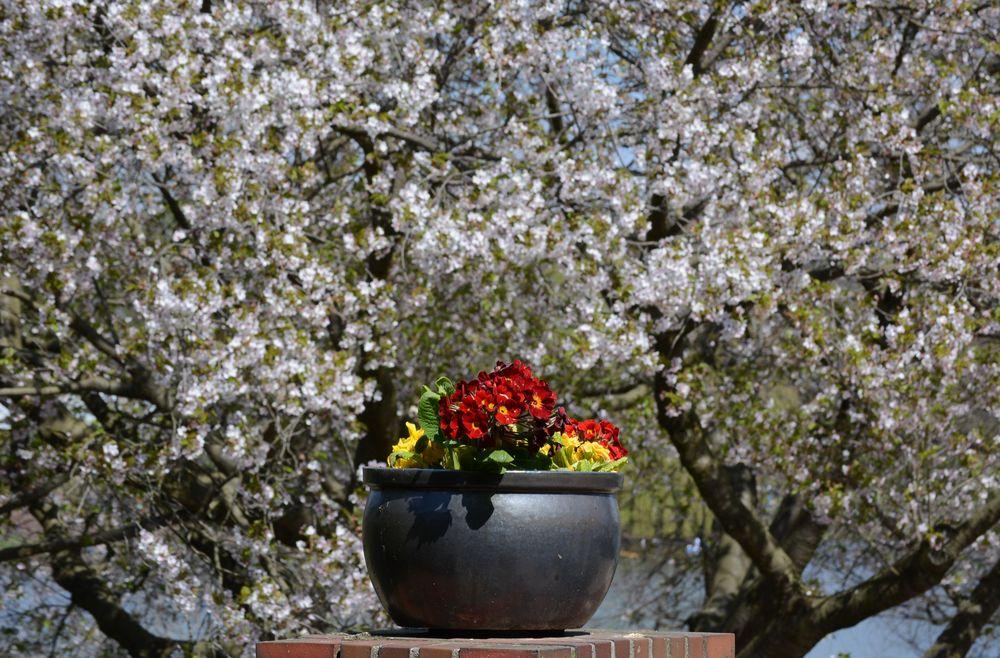 Blumentopf und Frühling