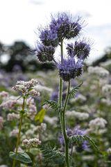 Blumenwiese (1)