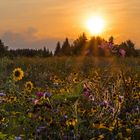 Blumenwiese im Abendlicht