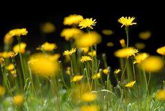 Blumenwiese im Montblanc Massiv