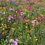 Blumenwiese in leuchtenden Farben