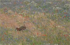 Blumenwiese mit Großtrappe