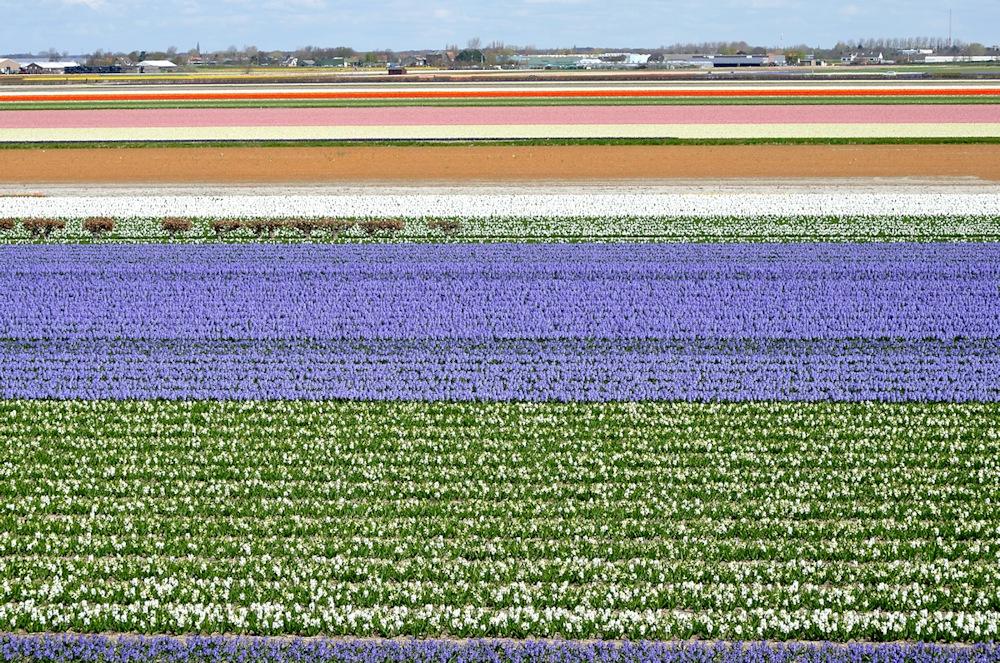 Blumenzwiebelfelder in Südholland