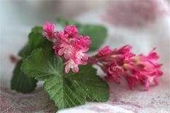 Blut-Johannisbeere - Ribes sanguineum