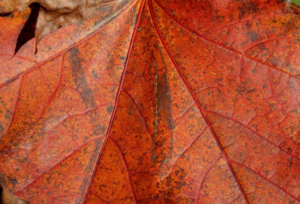 Blutahorn in der Herbstsonne